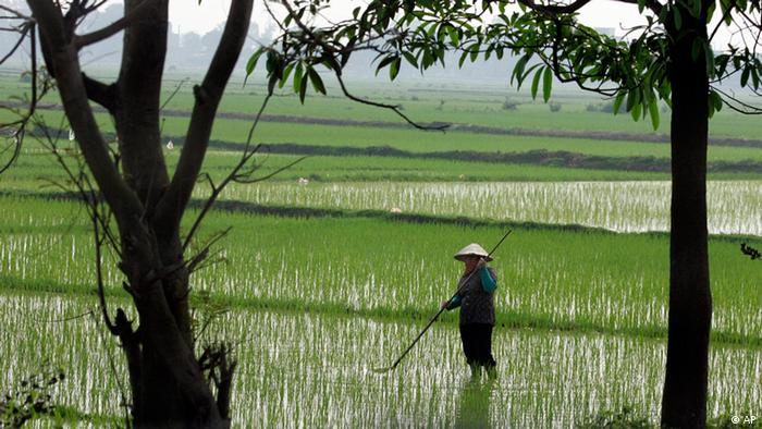 A farmer works in a rice field in Dong Anh District in Hanoi, Vietnam (Photo: ddp images/AP Photo/Chitose Suzuki)