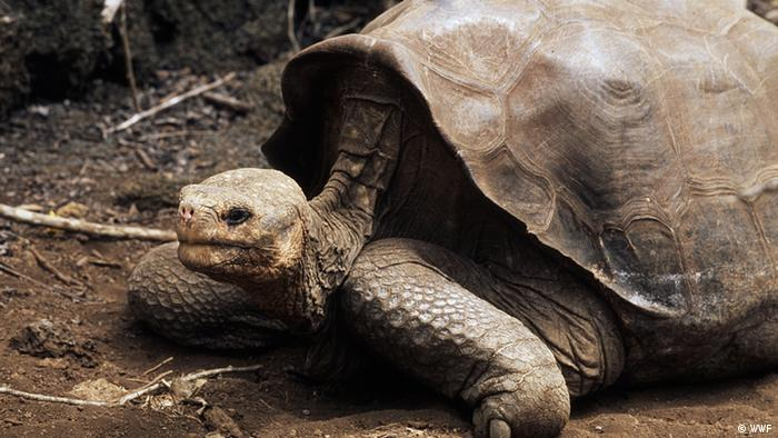 Lonesome George, the only remaining Pinta Island tortoise Foto: Martin Harvey