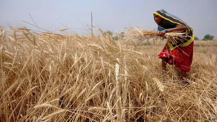 A woman harvests wheat in a field in India. (ddp images/AP Photo/Ajit Solanki)