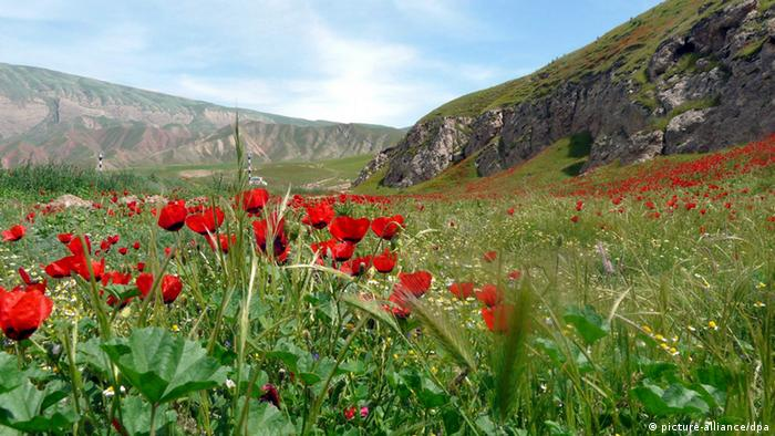 Poppy field with mountains in the background