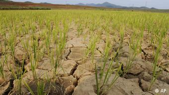 Rice plants grow from the cracked and dry earth