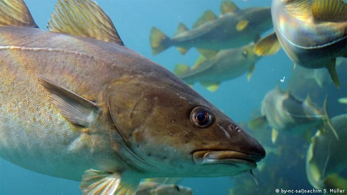 A cod close up, with others swimming in the background