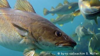 Fisch Dorsch