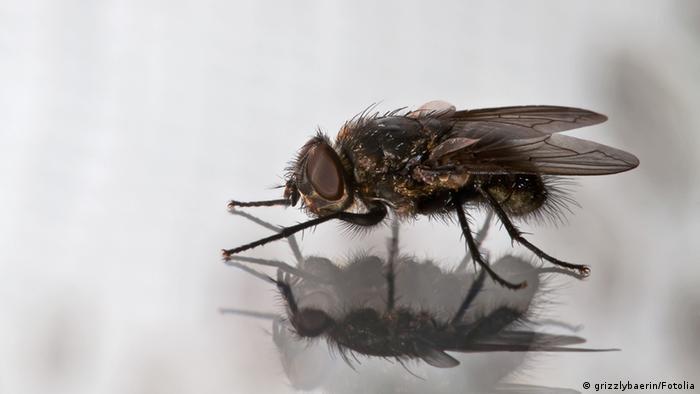 Symbolbild Fliegenwinzling Stubenfliege