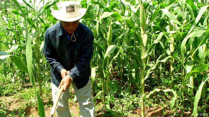 Cambodian farmer in a corn field