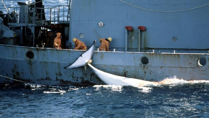 A Japanese boat catches a whale