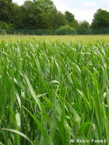 GM wheat trial field, Rothamsted Research