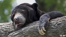 A sun bear reacts to triple-digit temperatures at the Henry Doorly Zoo in Omaha, Neb., Friday, July 6, 2012. The temperature reached 103 degrees Fahrenheit (39.5 Celsius) Friday. (Foto:Nati Harnik/AP/dapd)