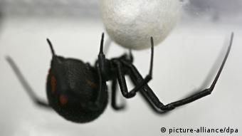 Eine männliche Schwarze Witwe (lat.: Latrodectus tredecimguttatus) hängt in einem Glaskasten im Biozentrum Grindel in Hamburg, vor der Spinne ein Kokon, in dem die Jungspinnen heranwachsen.