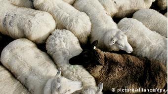Ein schwarzes Schaf steht auf einer Weide zwischen einer Gruppe von weißen Schafen.