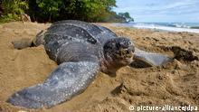 (ACHTUNG: Sperrfrist 23. Mai 2300) ARCHIV - Undatierte Aufnahme zeigt eine Lederschildkröte auf Trinidad. Die zunehmend Erderwärmung könnte für jede zweite Meeresschildkröte das Ende bedeuten. Foto: Brian Hutchinson (zu dpa «Erderwärmung gefährdet die großen Meeres-Schildkröten» vom 23.05.2012) +++(c) dpa - Bildfunk+++