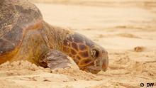 Schildkröte in Boavista, Kap Verde *** Author: Carla Fernandes Ort: Boavista Inseln, Kap Verde Datum: August 2011