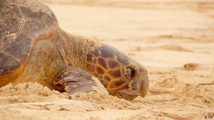 Foto ilustrativa: uma tartaruga numa praia da ilha da Boa Vista, em Cabo Verde