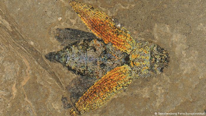 Окаменелый жук, найденный в карьере Мессель около Дармштадта