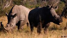 Nashörner im Krüger-Nationalpark, Südafrika