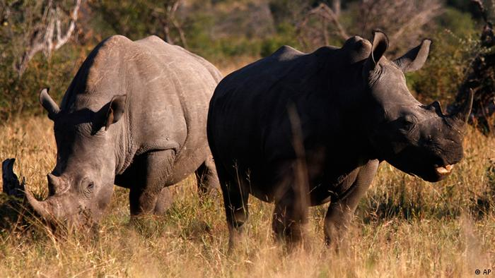 Two rhinoceros are seen at the Kruger National Park in Nelspruit, South Africa, Sunday June 13, 2010. (ddp images/AP Photo/Claudio Cruz)