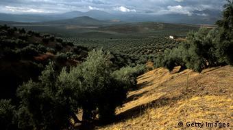 Spanien Olivenbaum