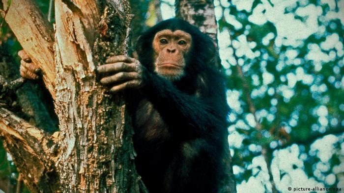 Bildergalerie HIV AIDS Schimpanse