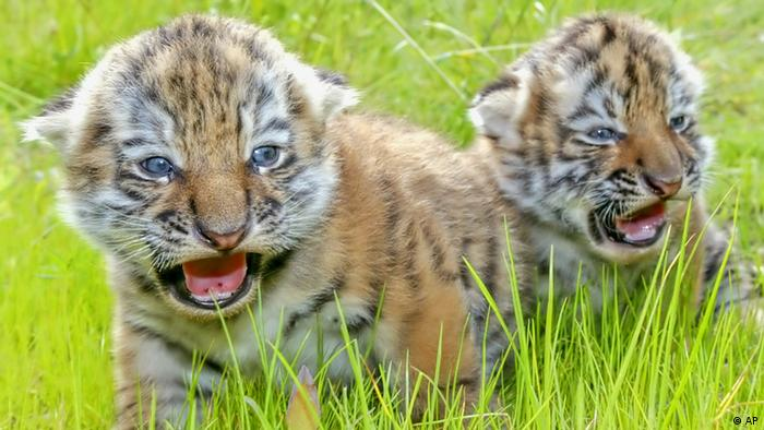 Amur tiger cubs (photo: AP Photo/Eckehard Schulz)