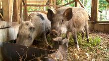 31.07.2012 Global 3000 Vanuatu-Schweine