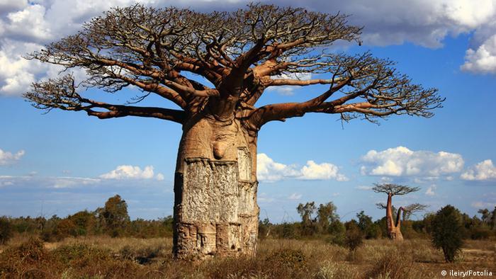 A baobab tree in Madagascar (Photo: ileiry - Fotolia.com)