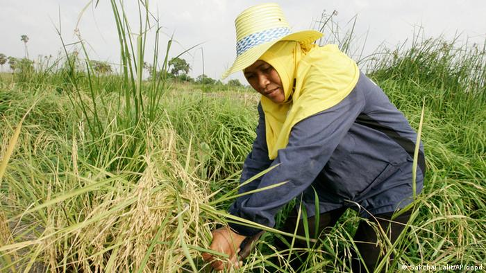 Thai farmer pulls rice husk in a paddy field in Patumthani Province (ddp images/AP Photo/Sakchai Lalit)