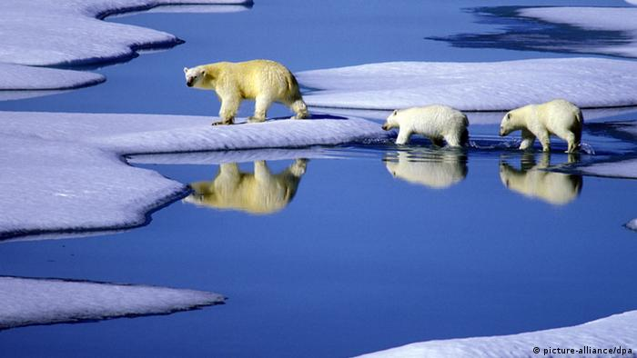 A polar bear and her three cubs walk on the ice in northern Canada
