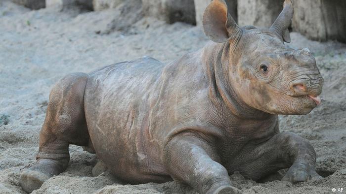 Rhinoceros Aufzucht
