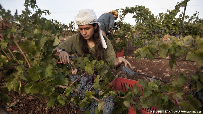 Weinanbau im Westjordanland (Foto: dpa)