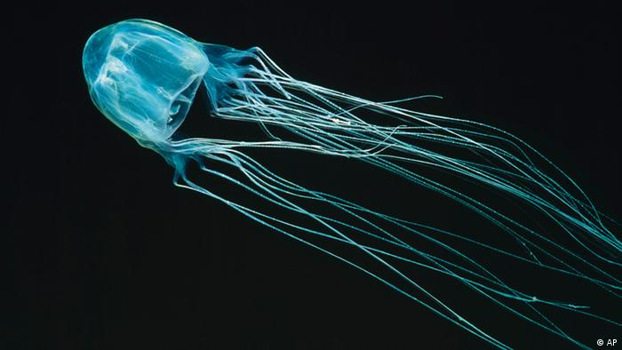 In this undated photo released by marinethemes.com, a box jellyfish swims along the Australian coast. The jellyfish, with tentacles that can reach 10 feet (3 meters) long, has a sting that is so excruciating that many victims go into shock and drown and those who make it out of the water often die from the venom, which quickly attacks the heart and nervous system. A 10-year-old Australian girl has baffled experts by surviving a run-in with a highly venomous box jellyfish swimming in a river 14 miles (23 kilometers) upstream from the ocean in northeast Australia's Queensland state in December. (AP Photo/marinethemes.com, Kelvin Aitken) ** ONE TIME EDITORIAL USE ONLY, NO ARCHIVES **