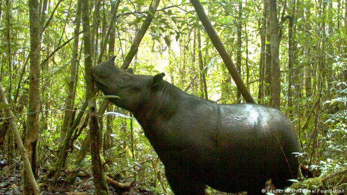 'Two-horned Sumatran rhinoceros (Dicerorhinus sumatrensis) ´Photo: Jamal Gawi, Leuser International Foundation