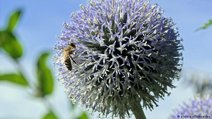 A bee in a garden (Photo: Soeren Stache dpa/lth)