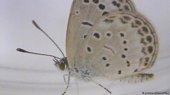 An undated handout photograph released by Joji Otaki, an associate professor of biology at the University of the Ryukyus on 14 August 2012, shows a healthy adult pale grass blue (Zizeeria maha) butterfly. Severe mutations were found in butterflies collected near the Fukushima Daiichi nuclear power plant according to Japanese news reports on August 13, 2012. Exposure to radioactive material from the nuclear accident has caused the mutations, according to the team of scientists conducting the survey published in the journal Scientific Reports.