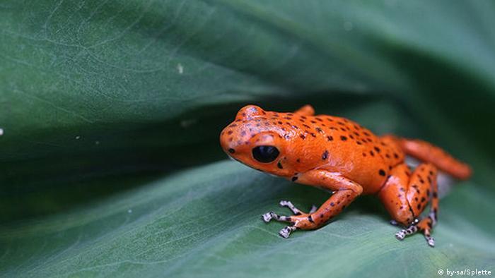 A sreawberry poison dart frog