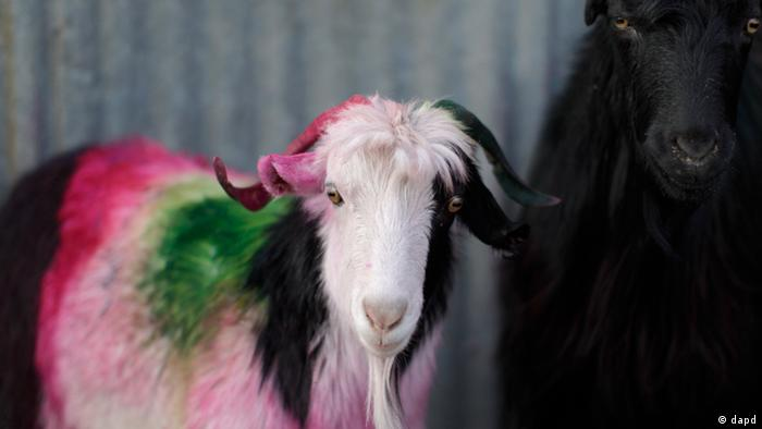 A goat colored for identification is seen displayed for sale for the upcoming Eid-al-Adha festival at a livestock market in Kabul, Afghanistan, Wednesday, Nov 2, 2011. Muslims will celebrate Eid al-Adha, or the Feast of the Sacrifice on Nov. 7, by slaughtering of sheep, goats, cows or camels. (Foto:Muhammed Muheisen/AP/dapd)