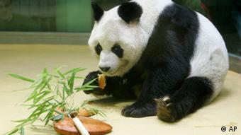 Panda Bao Bao eats a cake he received for his 25th anniversary at the Berlin zoo in Berlin, Germany. Photo: Franka Bruns File/AP/dapd