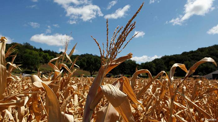 A general view of drought-damaged corn stalks at the McIntosh family farm in Missouri Valley, Iowa, August 13, 2012.