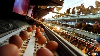 Hennen drängen sich in einer legebatterie Foto: Joerg Koch
