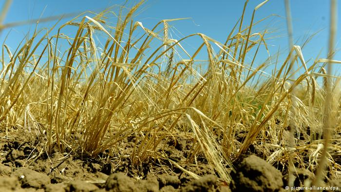 Damaged wheat crops in Russian fields.