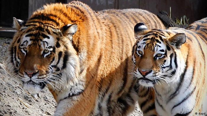Two Siberian tigers at the Cologne Zoo in Germany (Photo from 08.03.12). dapd Photo: Roberto Pfeil/dapd