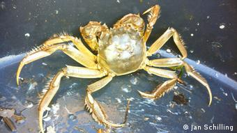 A mitten crab that was caught in Germany (Photo: Jan Schilling)