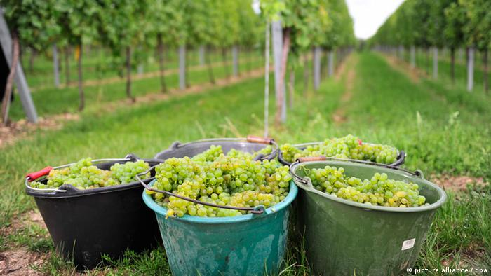 Bildergalerie Wein Weinlese in Rheinland-Pfalz