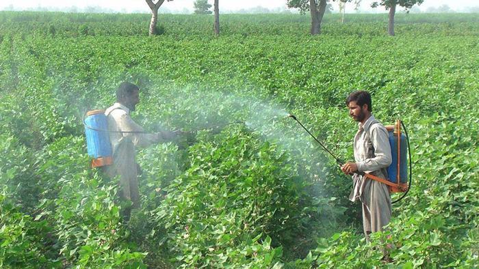 Trabalhadores aplicando pesticida sem proteção