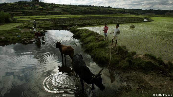 Vieh auf Madagaskar