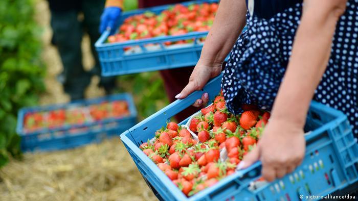 Saisonarbeiter tragen am Dienstag (15.05.2012) auf einem Feld bei Dortmund ihre frisch geernteten Erdbeeren. Der Landesverband Obstbau Westfalen-Lippe hat zu einer Pressekonferenz zum Start der Erdbeersaison eingeladen. Foto: Bernd Thissen dpa/lnw +++(c) dpa - Bildfunk+++