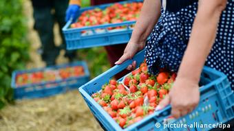 Strawberres. (Photo: Bernd Thissen dpa/lnw)