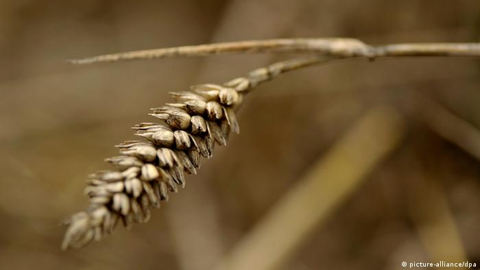 Close-up of a head of wheat in a field. (Photo: Sascha Schuermann/dapd)