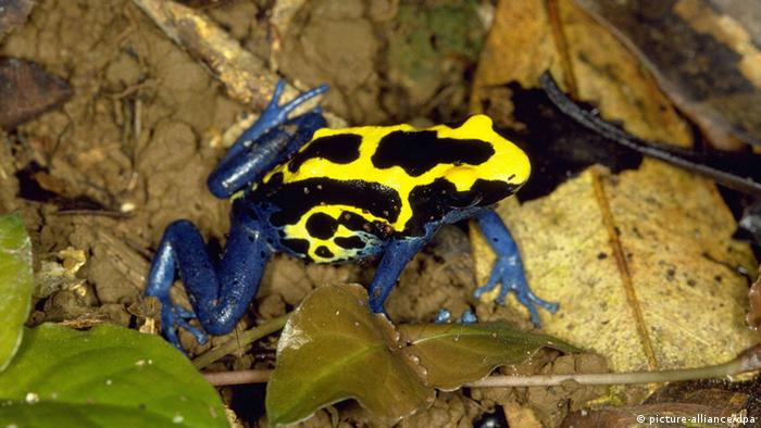 A poison dart frog.
