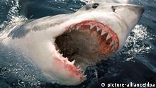 Tiere Weißer Hai (picture-alliance/dpa)
