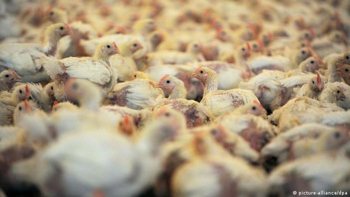 Cría intensiva de gallinas